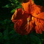 fading hibiscus flower