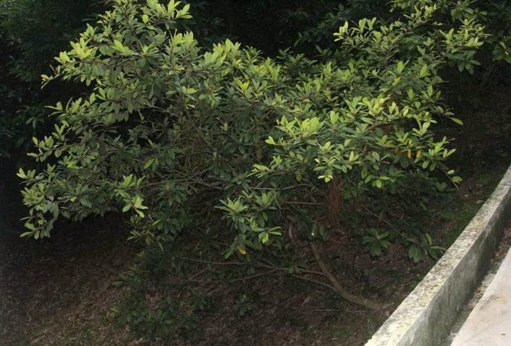 ginseng ficus retusa