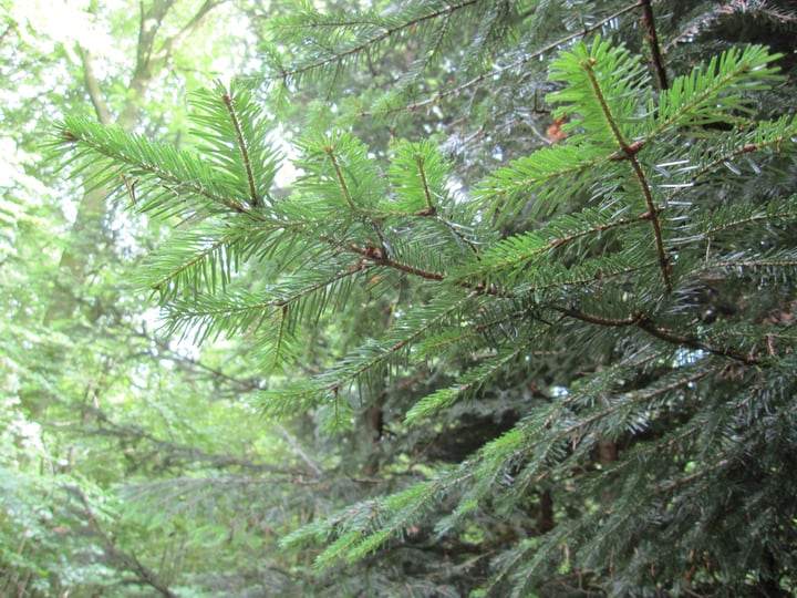 grand fir abies grandis