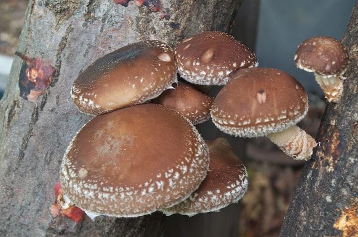 growing shiitake mushrooms for market gardening