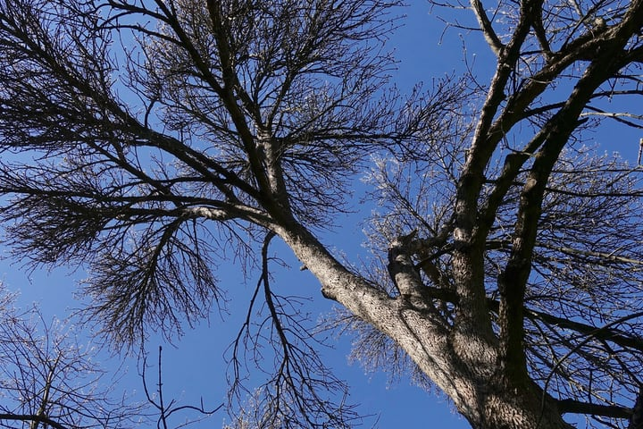 grreen ash fraxinus pennsylvanica