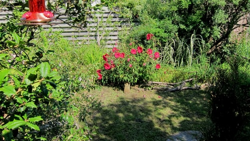 hardy shrub hibiscus