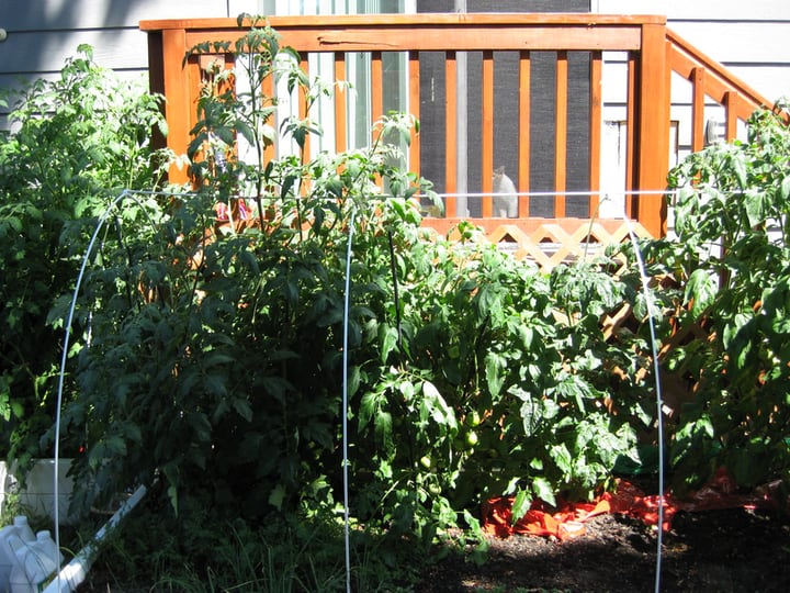 heirloom tomatoes raised bed market gardening