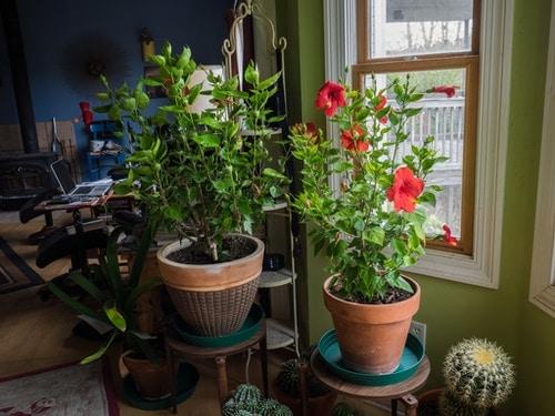 hibiscus plant indoors