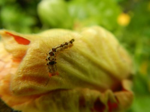 hibiscus plant pest