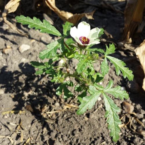 hibiscus soil