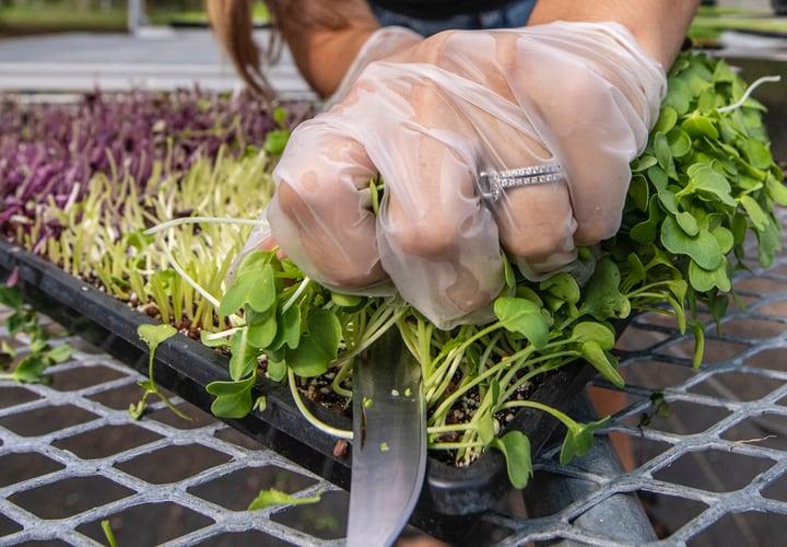 microgreens market gardening