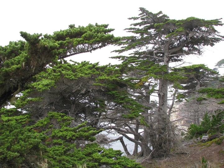monterey cypress cupressus macrocarpa