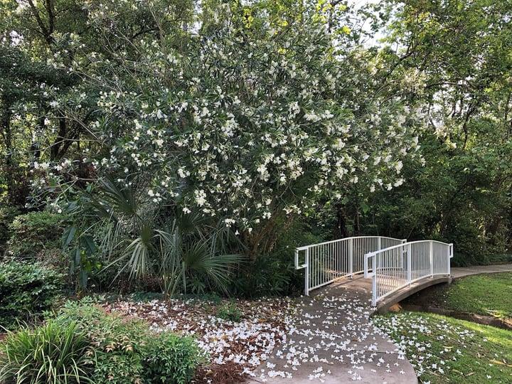 oleander tree flower
