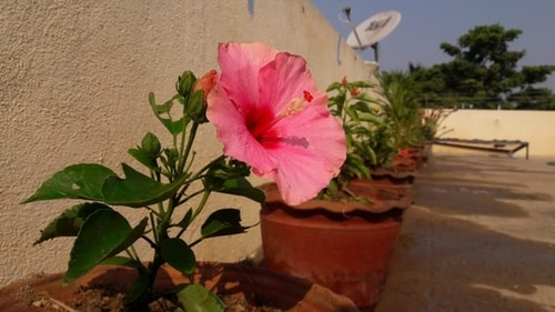 potted hibiscus flower