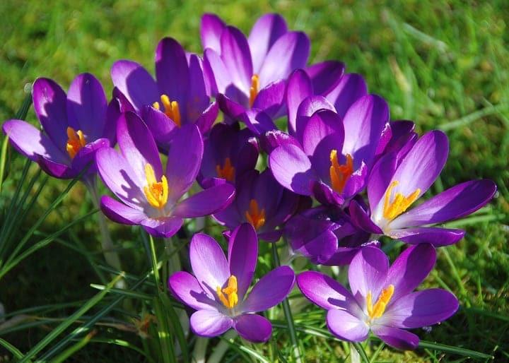 saffron flowers market gardening
