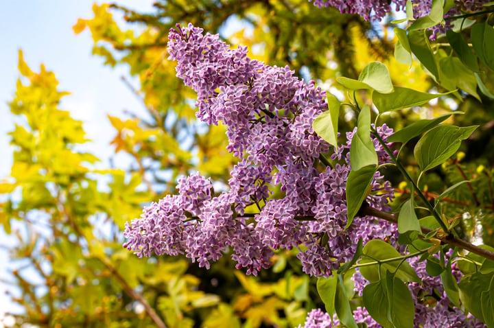 sensation lilac syringa vulgaris