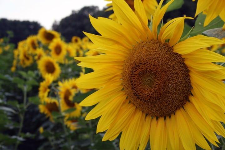 sunflower market gardening