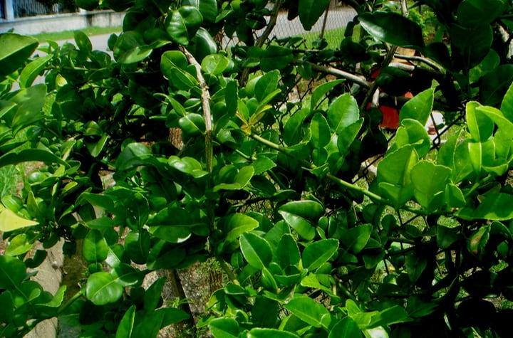 thail lime citrus hystrix