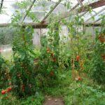 tomato market garden