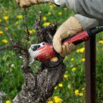 vineyard secateur for market gardening harvesting