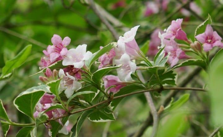 weigela ornamental plant market gardening