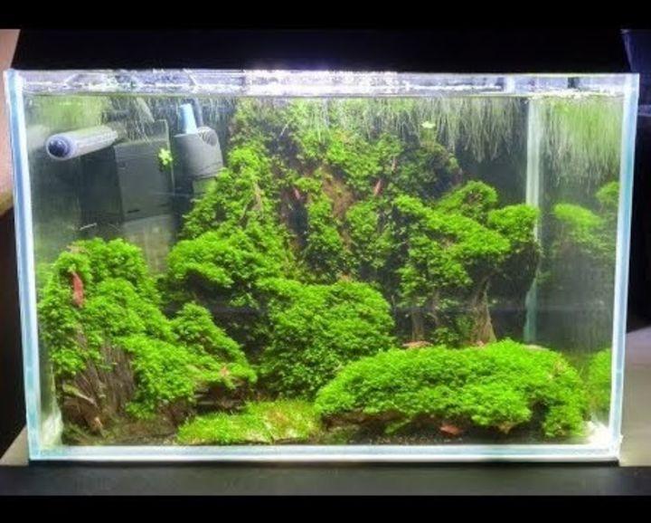 aquascaping moss