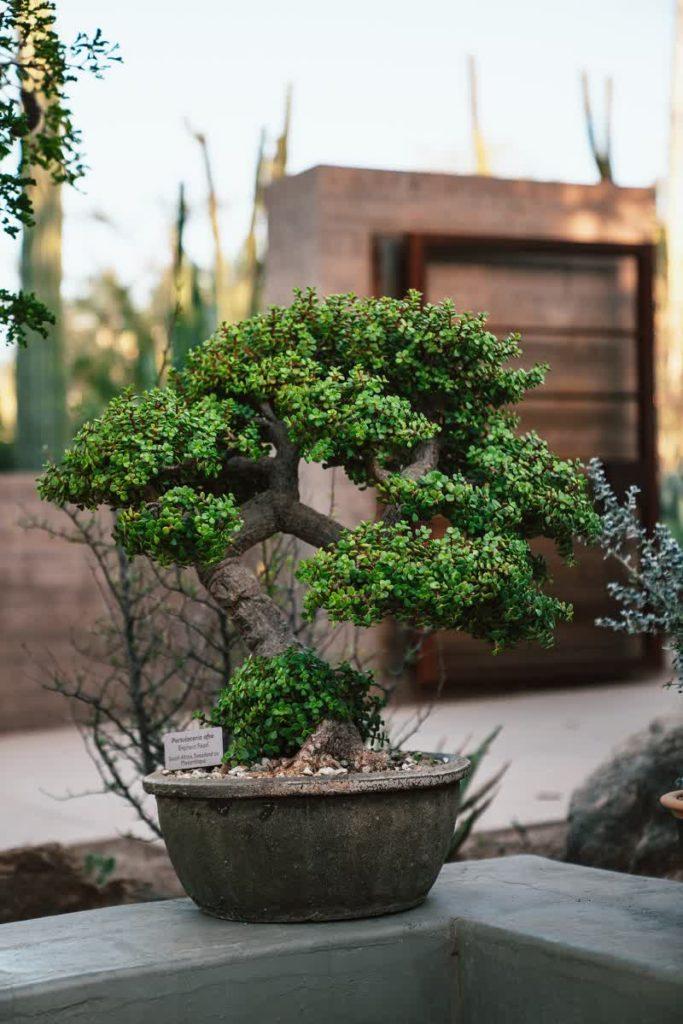 Bonsai Tree Complete Guide