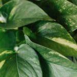 devils ivy plant guide