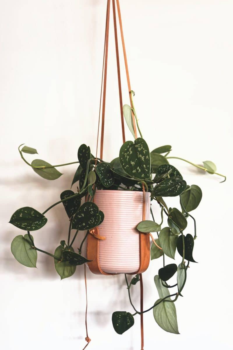devils ivy plant types
