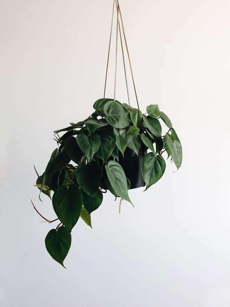 devils ivy plants