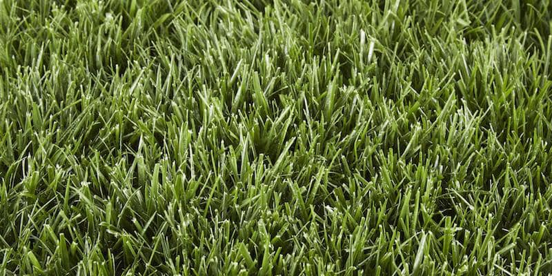 grass type tall fescue