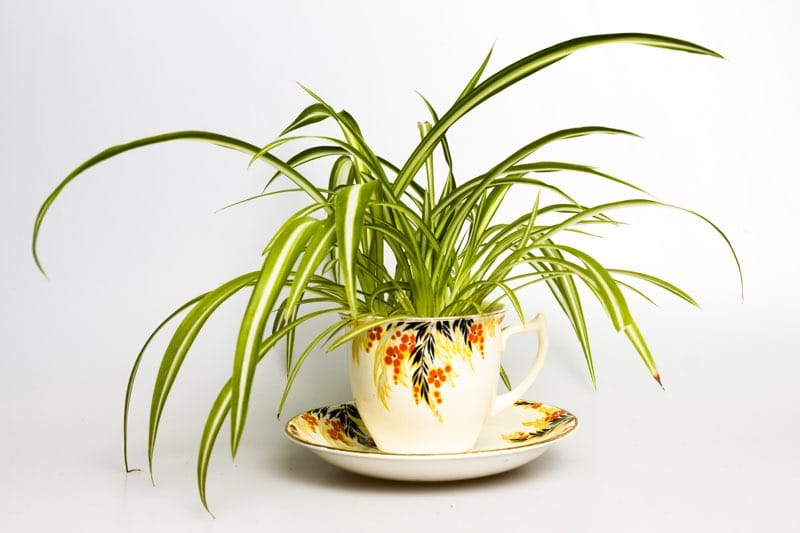 spider plant in tea cup