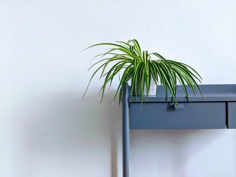 spider plant indoor