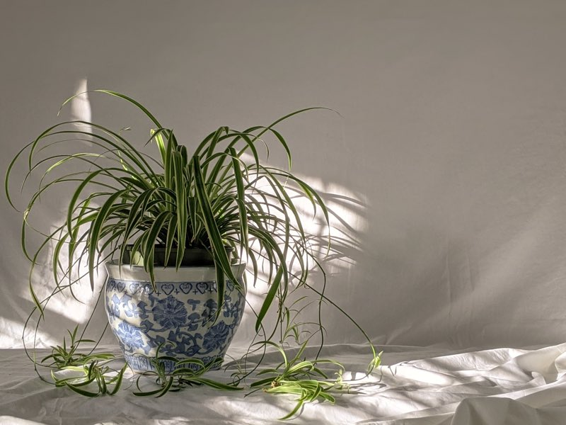 spider plant watering
